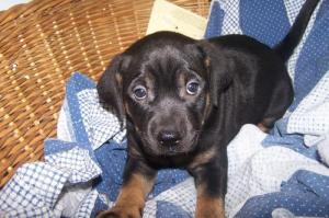 photograph of Rottweiler mix puppy