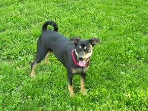 Photo of medium-size black and tan mutt standing in grass